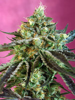 Sweet Seeds - Sweet Nurse Auto CBD Feminised Autoflowering Cannabis Seeds