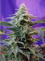 Sweet Seeds - Sweet Special (F1 Fast Family) Feminised Cannabis Seeds