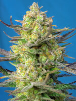 Sweet Seeds - Sweet Cheese XL Auto Feminised Autoflowering Cannabis Seeds