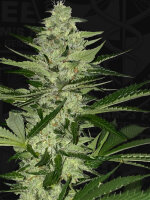 T H Seeds - MelonSicle Feminised Cannabis Seeds