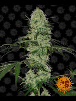 Barneys Farm - Tangerine Dream Auto Limited Edition Feminised Cannabis Seeds