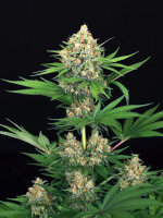 Exotic Seeds - Tangerine Kush Regular Cannabis Seeds