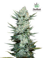 Fast Buds Seeds - Tangie'matic Feminised Autoflowering Cannabis Seeds