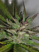 Taylor'd Genetics - Hazy Daze Feminised Cannabis Seeds