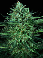 T H Seeds - Cold Creek Kush Regular Cannabis Seeds