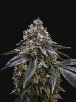 T H Seeds - French Macaron AKA French Cookies Feminised Cannabis Seeds