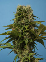 T H Seeds - Wreckage Regular Cannabis Seeds