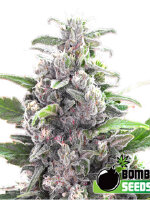 Bomb Seeds - THC Bomb Regular Cannabis Seeds