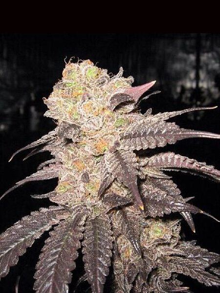 The Cali Connection - Purple Diesel Feminised Cannabis Seeds
