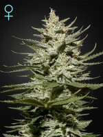 Green House Seeds - The Church CBD Feminised Cannabis Seeds
