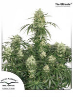 Dutch Passion - The Ultimate Feminised Cannabis Seeds