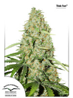 Dutch Passion - Think Fast Feminised Cannabis Seeds