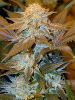 T H Seeds - Critical Hog Feminised Cannabis Seeds