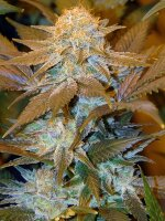 T H Seeds - Critical HOG (Special Edition Club Pack) Feminised Cannabis Seeds