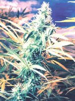 Flying Dutchmen - Titan's Haze Regular Cannabis Seeds