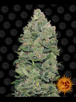 Barneys Farm - Top Dawg Feminised Cannabis Seeds
