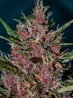 Tropical Seeds - Afrokush Feminised Cannabis Seeds