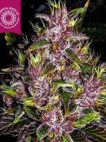 Tropical Seeds - Towerful Feminised Cannabis Seeds