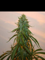 True Canna Genetics - Chocolate Thainapple Regular Cannabis Seeds 15 Pack