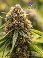 Anesia Seeds - True Gold OG Feminised Cannabis Seeds