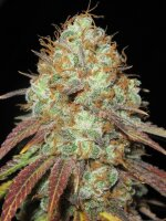 Ultra Genetics - AK Confidential 10 Regular Cannabis Seeds