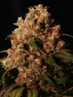 Ultra Genetics - Mendo Grape Kush Regular Cannabis Seeds