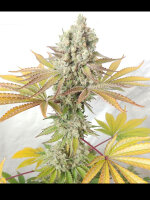 Ultra Genetics - Sour Grape Widow Feminised Cannabis Seeds 6 Pack