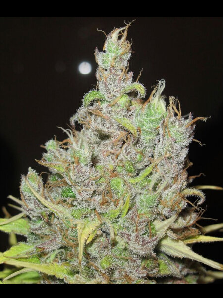 Ultra Genetics - Super Silver Grapefruit Feminised Cannabis Seeds
