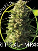 Vision Seeds - Critical Impact Feminised Cannabis Seeds