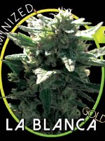 Vision Seeds - La Blanca Gold Feminised Cannabis Seeds