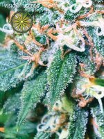 Vision Seeds - Super Skunk Feminised Cannabis Seeds