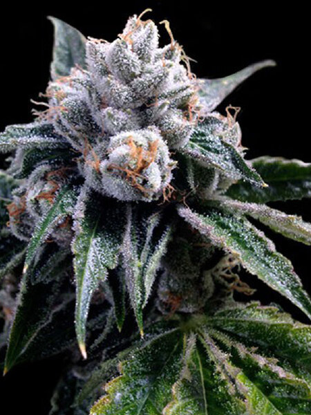 DNA Genetics GYO Collection - Lemon Walker 6 Feminised Cannabis Seeds