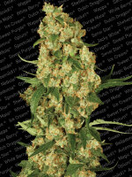 Paradise Seeds - Wappa Feminised Cannabis Seeds