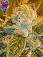 Ripper Seeds - Sour Ripper Single Feminised Cannabis Seeds