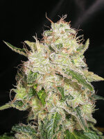 Cream of the Crop - White Chronic Feminised Single Cannabis Seed