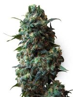 White Label Seeds - Afghan Kush Regular Cannabis Seeds