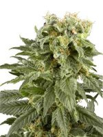 White Label Seeds - Double Gum Regular Cannabis seeds