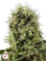 White Label - Pure Power Plant Feminised Cannabis Seeds