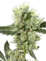 White Label Seeds - White Haze Regular Cannabis Seeds