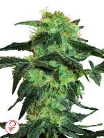 White Label - White Ice Feminised Cannabis Seeds