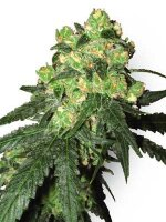 White Label Seeds - White Label Rhino Regular Cannabis Seeds