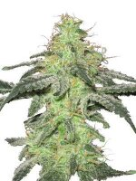 White Label Seeds - White Skunk Regular Cannabis Seeds