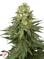White Label - White Widow Feminised Cannabis Seeds