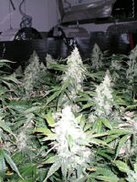 Nirvana - White Widow Regular Cannabis Seeds