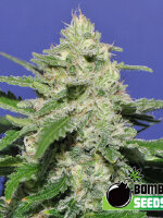 Bomb Seeds - Widow Bomb Feminised Cannabis Seeds