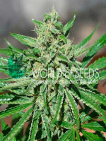 World of Seeds - CBD Tonic Feminised Cannabis Seeds