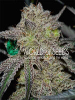 World of Seeds - Tonic Ryder Auto Feminised Cannabis Seeds