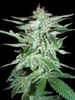 World Of Seeds Diamond - Delirium Feminised Cannabis Seeds