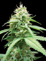 World Of Seeds Diamond - Obsession Feminised Cannabis Seeds