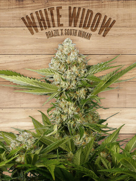 The Plant Organic Seeds - White Widow - Feminised Cannabis Seeds